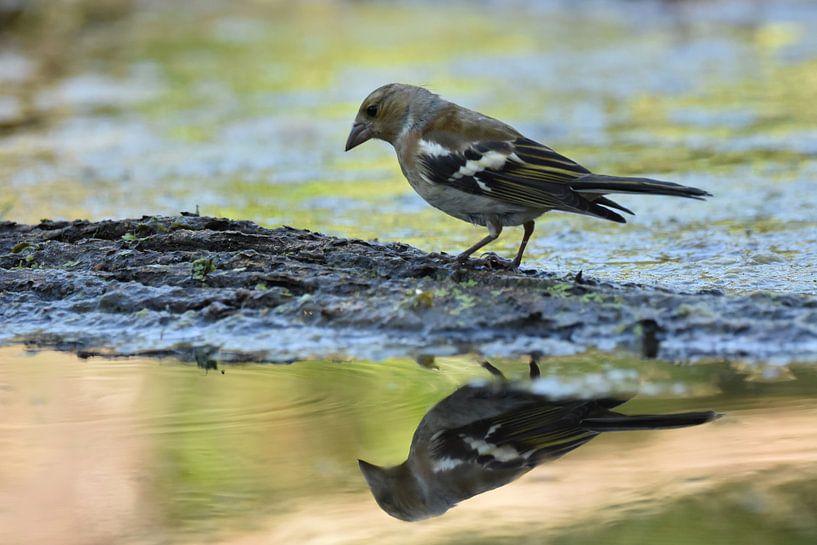 Vogel spiegelbeeld sur Sascha van Dam