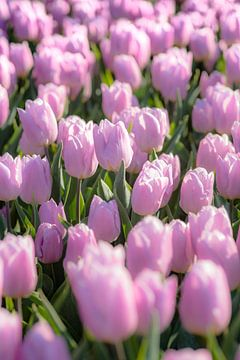 Paars tulpenveld in Holland van Fotografiecor .nl