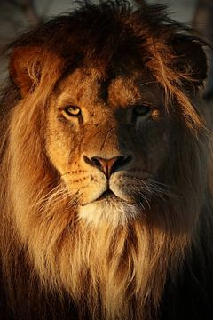 Lion in the evening sun van Tazi Brown