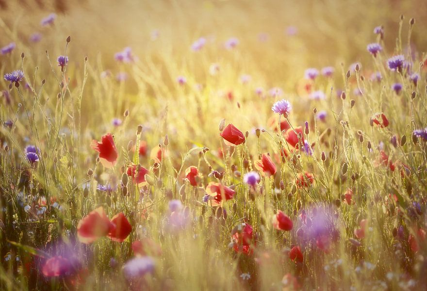 dancing in light... (poppies/ klaprozen)  van Els Fonteine