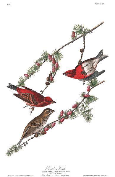 Amerikaanse Roodmus van Birds of America
