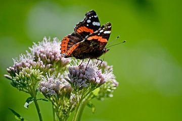 Vlinder Atalanta von Susan Dekker