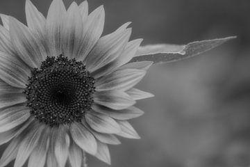 Zwartwit zonnebloem van J..M de Jong-Jansen