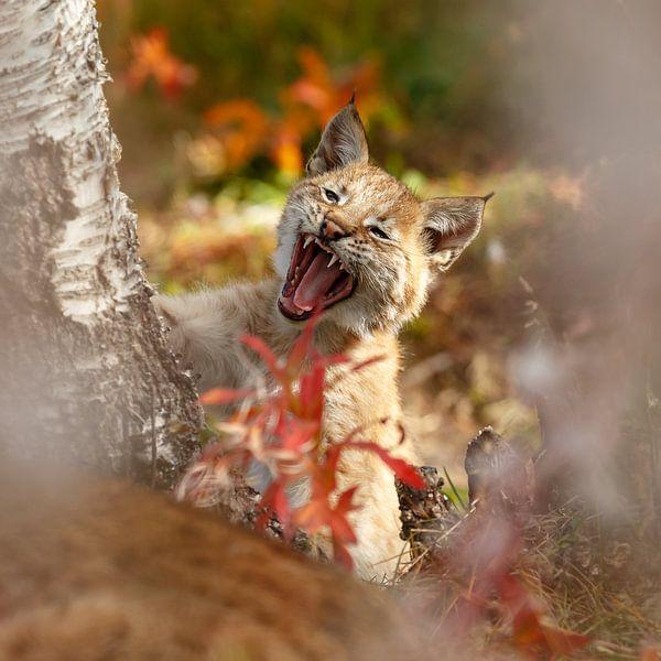 Lynx cub yawning sur Menno Schaefer