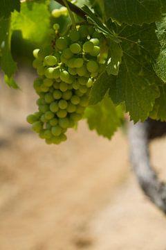 Druivestokken in een wijngaard in Zuid-Frankrijk (1) van rene marcel originals