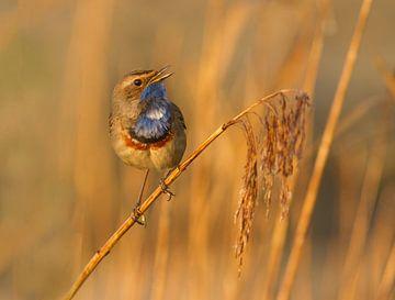 Zingende Blauwborst van Marcel Klootwijk