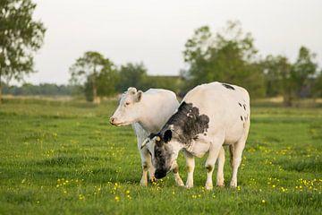 Kühe auf der Weide mit gelben Butterblumen in Friesland von Maria-Maaike Dijkstra