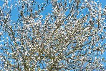 Bloeiende pruimenboom van Harry Wedzinga