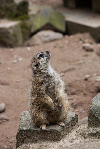 Meerkat Looking for a Bird