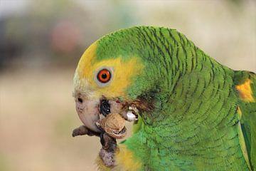 Papagei, auf Bonaire beim Abendessen. von Silvia Weenink
