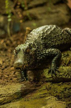 Krokodil 1 von Dirk Herdramm