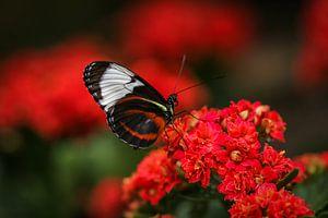 Tropische vlinder van