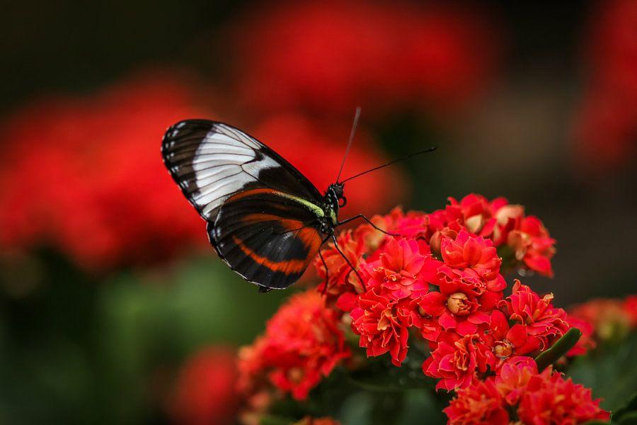 Tropische vlinder van Martin Smit