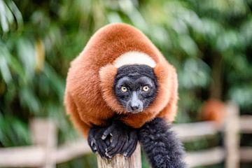 Rode Lemur von Jack Brekelmans