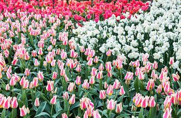 Verschillende rode tulpen en witte narcissen van