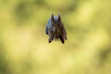 Springendes Eichhörnchen von Freddy Van den Buijs