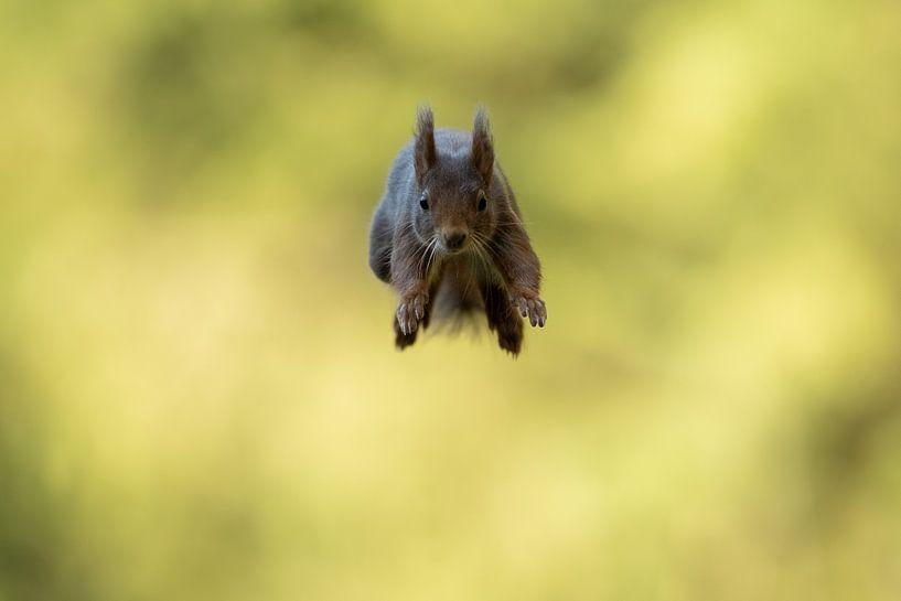Springende eekhoorn van Freddy Van den Buijs