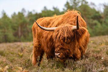 Porträt eines schottischen Hochlandrindes im Naturschutzgebiet Veluwe von Sjoerd van der Wal