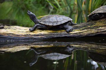 Schildkröte von Corine Frelink