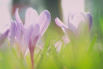 Krokus in bloei van Rene du Chatenier