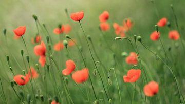 Veldje klaprozen/poppies van Jacqueline Gerhardt