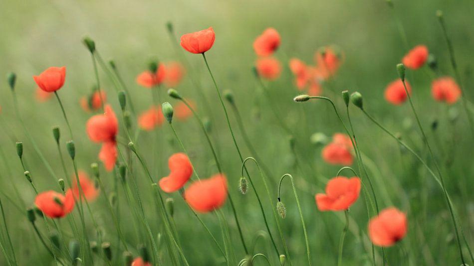 Veldje klaprozen/poppies