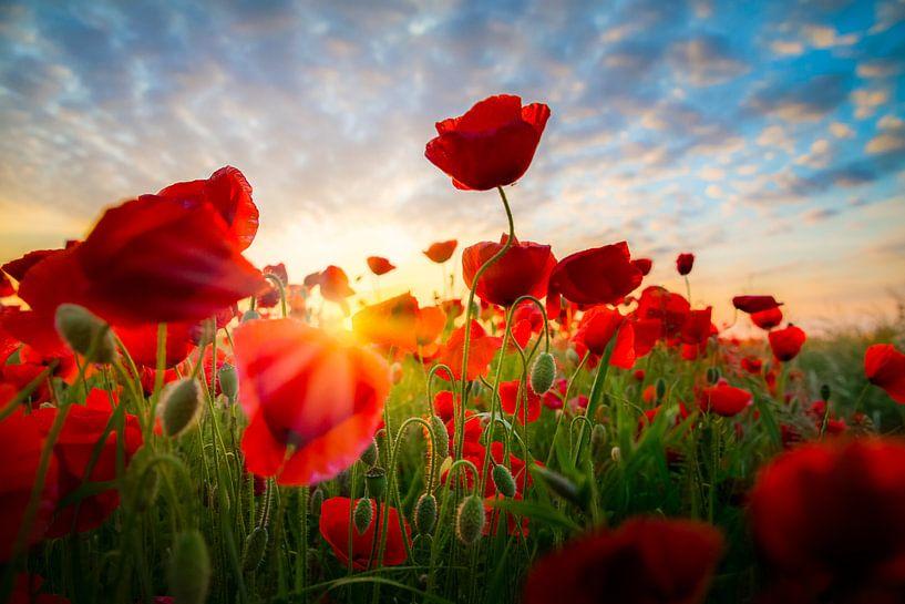 Poppies Land van Thomas Froemmel
