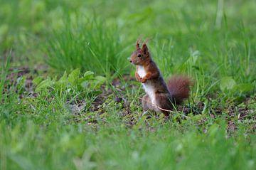 Niedliches Eichhörnchen auf der Wiese von Anja Uhlemeyer-Wrona