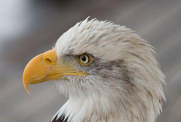 Amerikaanse zeearend /  witkopzeearend / Arend / Eagle von A. Oskam