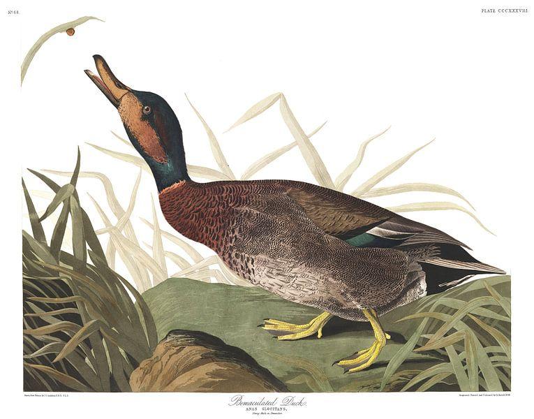 Siberische Taling van Birds of America
