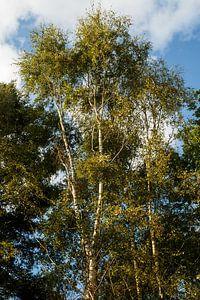 Birken im Wald van
