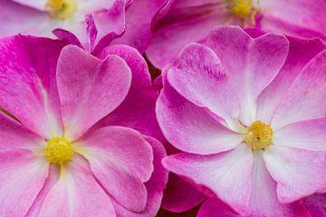 Wilde roos van Daan Kloeg