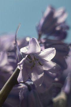 Eine Blüte einer Waldhyazinthe von Anne Ponsen
