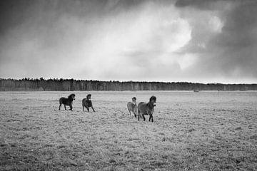 Wilde Exmoor Ponies van Lenslicht Fotografie