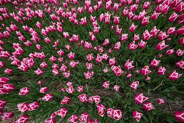 Tulpenzwiebelfelder in Nordholland von Jeroen Stel