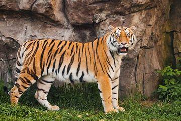 Le tigre de l'Amour se tient près d'un mur rocheux sur de l'herbe verte sur Michael Semenov