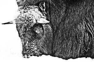 Der Kopf eines rauen nördlichen Moschusochsen aus nächster Nähe, der mit Schnee bedeckt ist, ist win