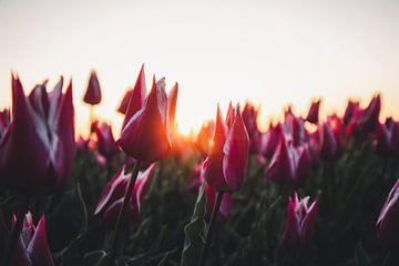 Tulpen in der Morgensonne von Tes Kuilboer