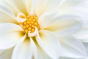 Weiße Dahlienblüte von Tijmen Hobbel