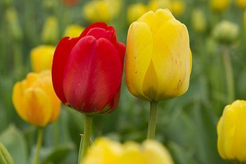 Boemen in Nederland, rode en gele tulpen samen in een bollenveld van Discover Dutch Nature