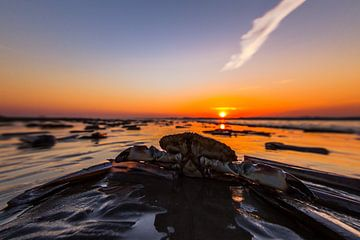Krab in de ondergaande zon van