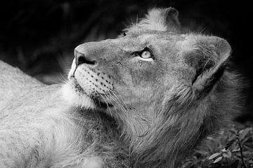 Junger Löwe in schwarz-weiß von Jeroen Stel