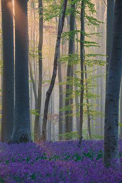 Die ersten Sonnenstrahlen im Hallerbos von Paul Begijn
