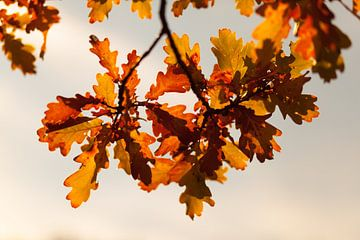 Herbstliches Eichenlaub von Jan Schuler