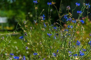 Blaue Feldblumen von MyPics4u