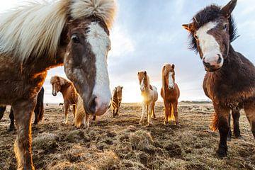 IJslanders in de Wei bij Zonsondergang van Bart van Eijden