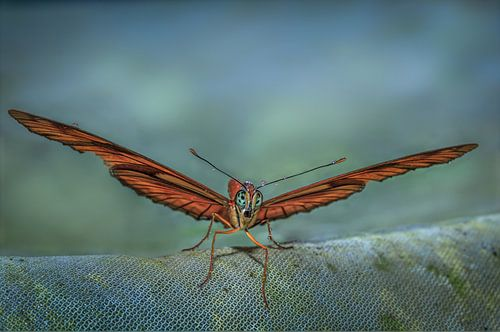 Passiebloemvlinder 2