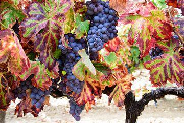 Druiven voor de oogst van