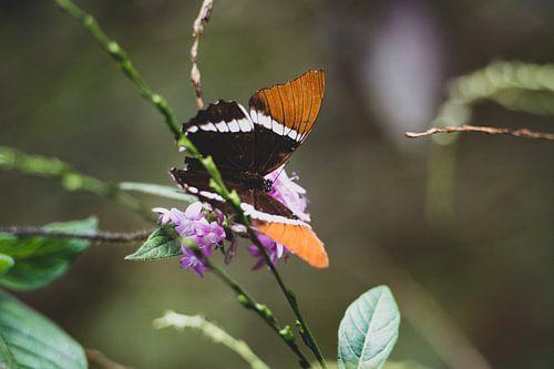 Bruin-oranje vlinder in Quindío van