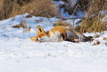 Slapende Vos in de sneeuw van Remco Van Daalen